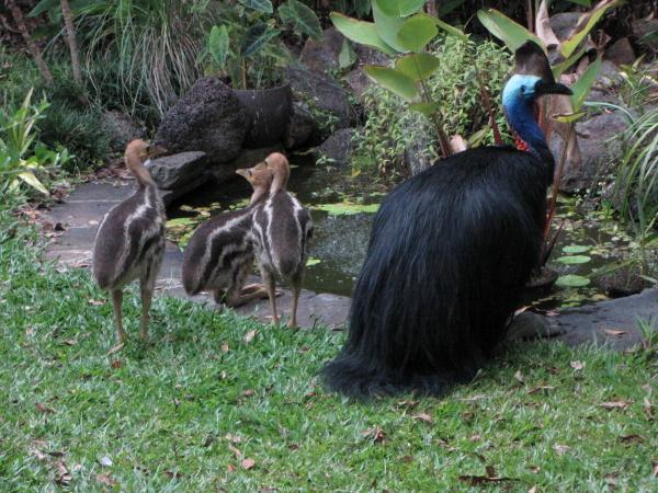 cassowaries December 2012
