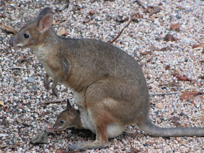 red-legged pademelon 1