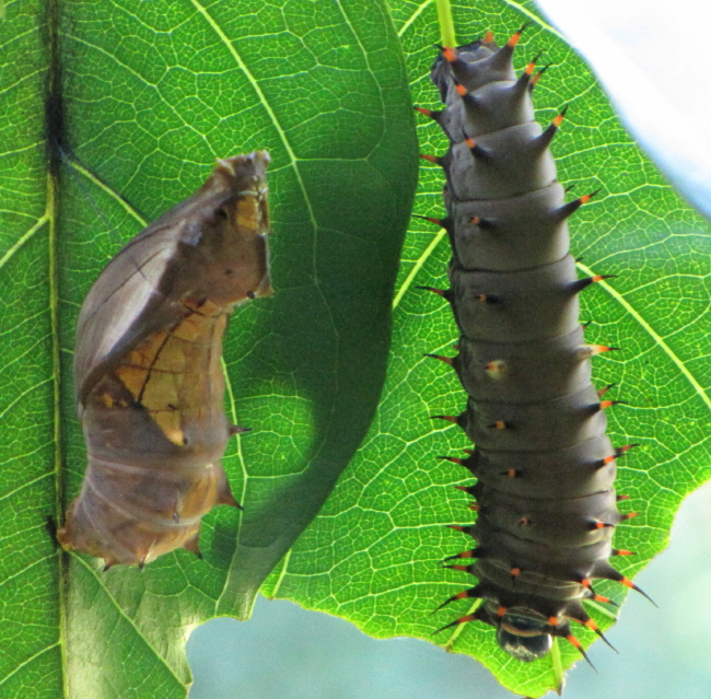 birdwing caterpillar and pupa
