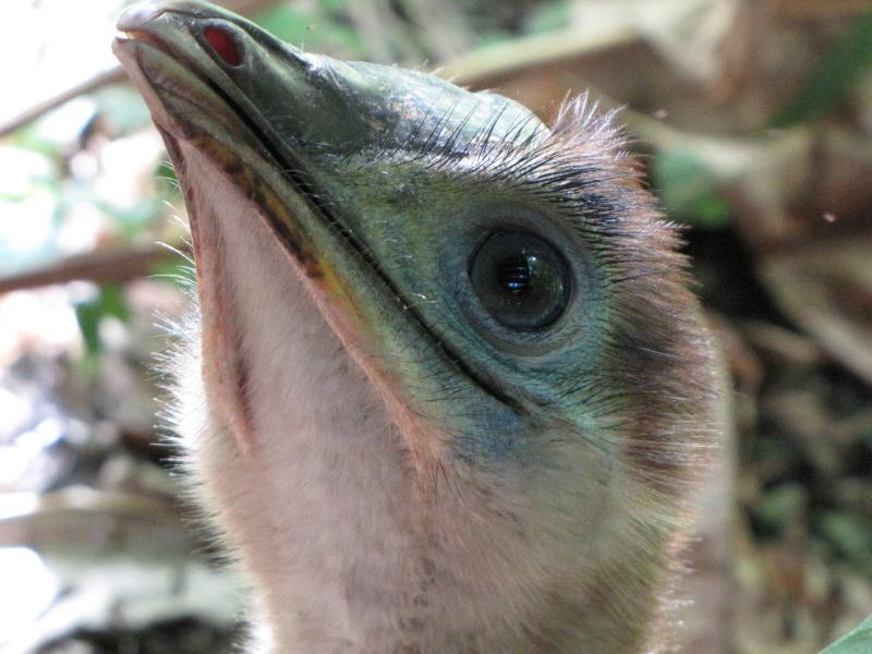 cassowary juvenile June 2013