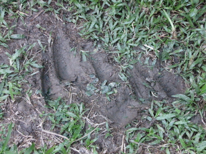 cassowary mating tracks