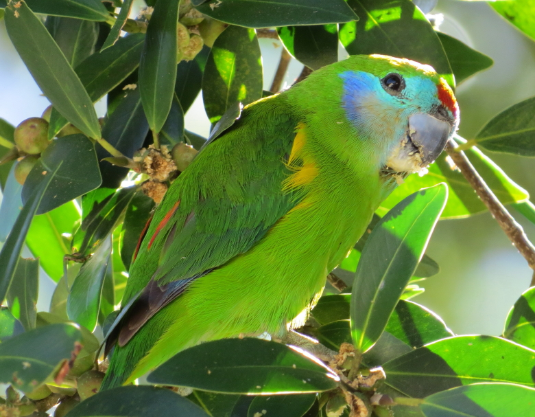 female double-eyed fig-parrot