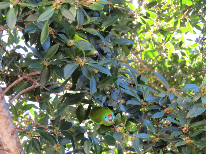 fig-parrots in Kuranda,August2013