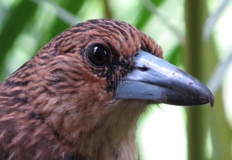 black butcherbird juvenile