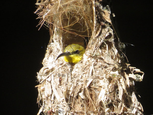 sunbird female on eggs