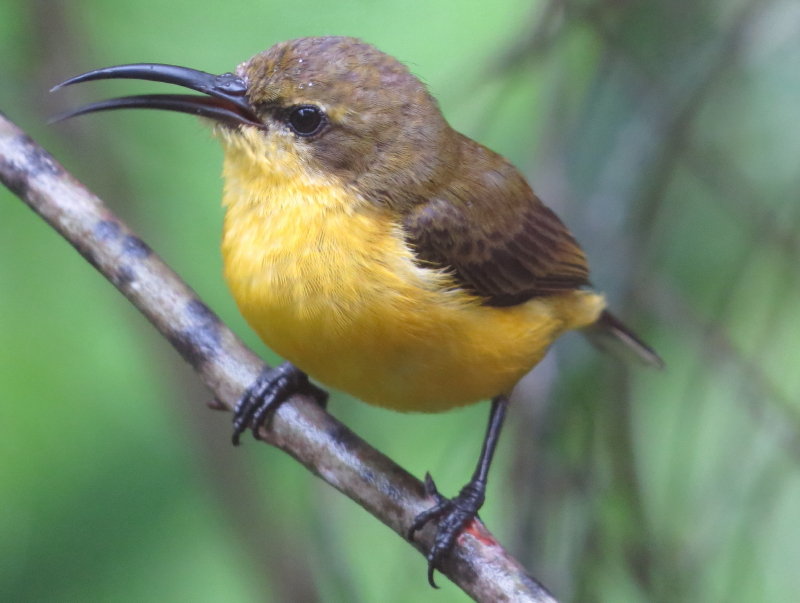 sunbird female