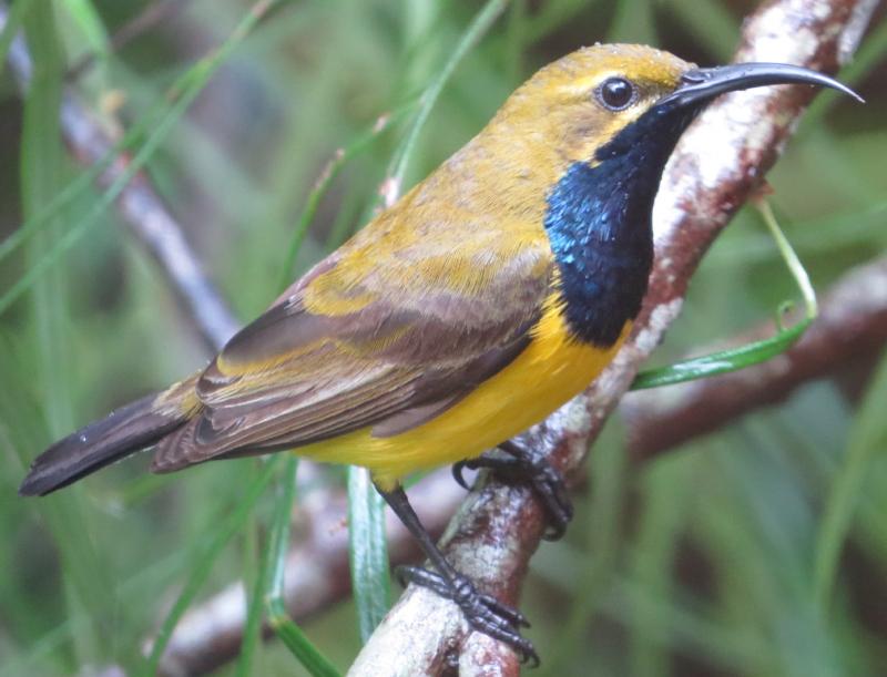 sunbird male