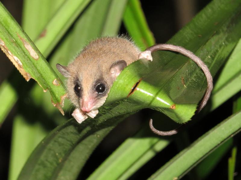 Pygmy-possum 2
