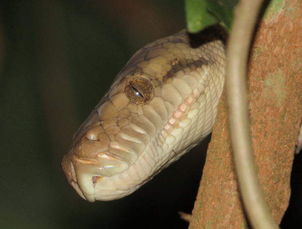 amethyst python 6