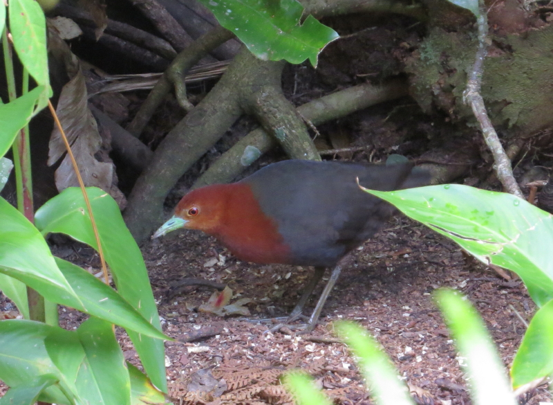Red-necked Crake