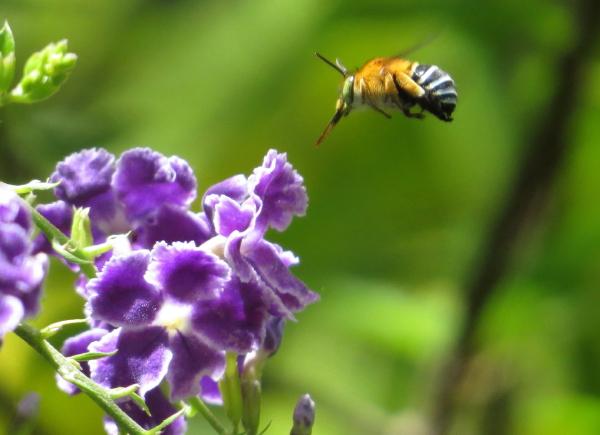Blue-backed Bee,Feb2015_1