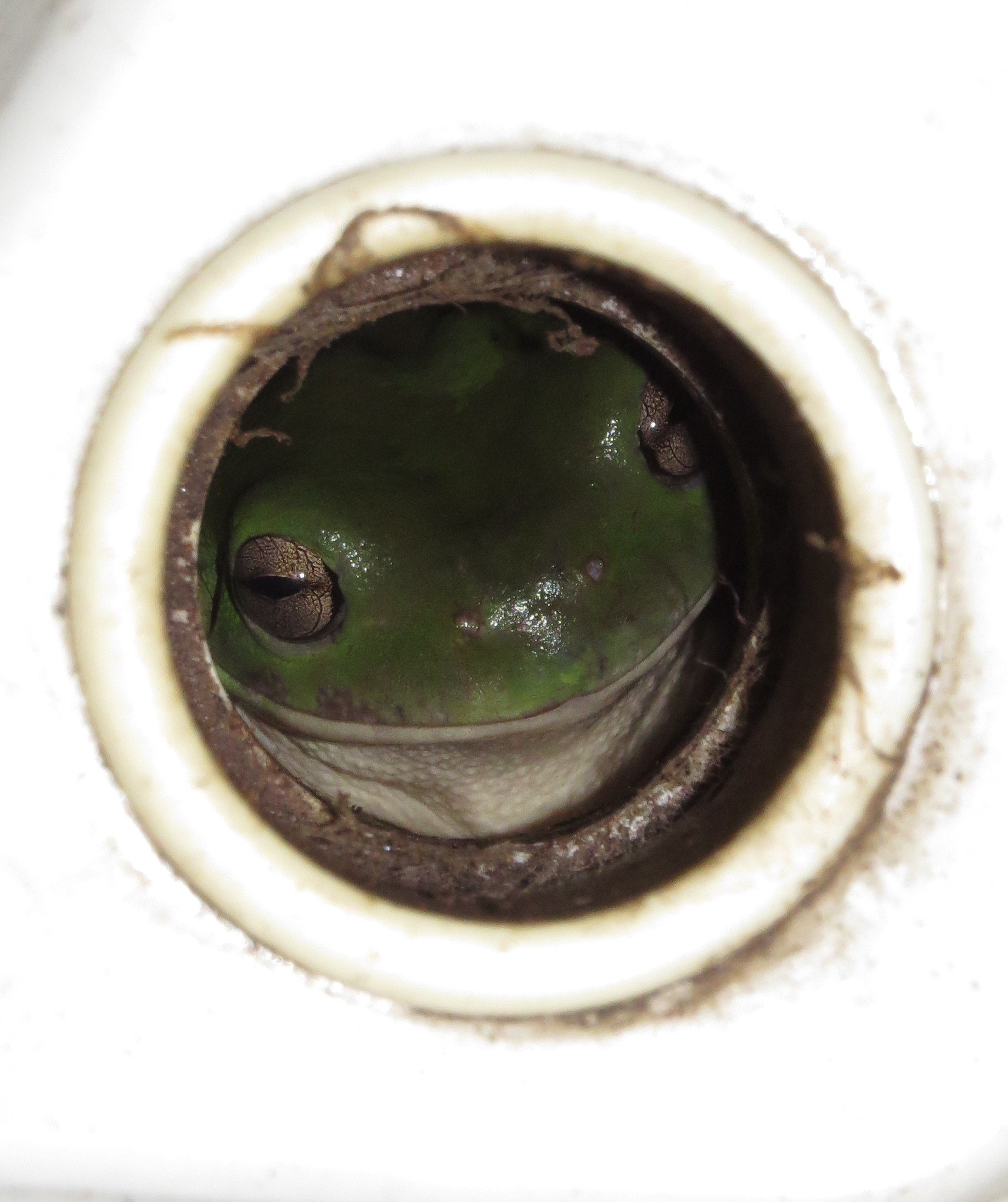 frog in  a hole