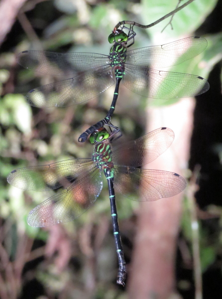 Sleeping Dragonflies