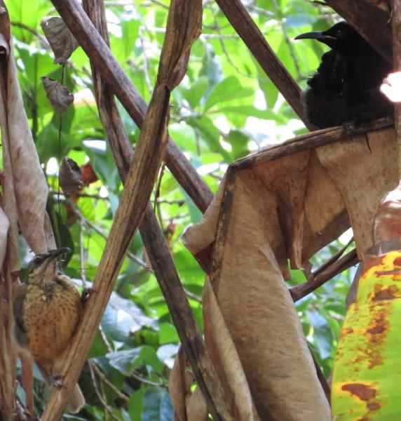 Victoria's Riflebird pair