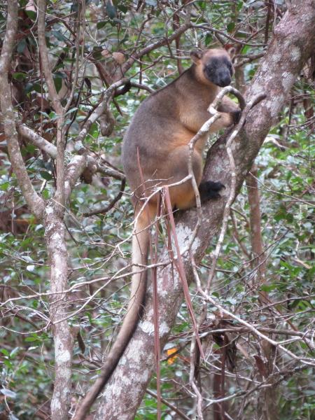 Tree-roo, climbing
