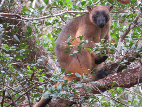 the same male tree-kangaroo