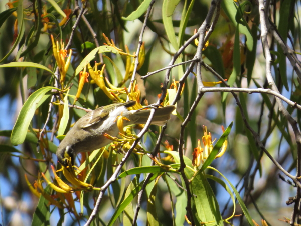 yellow-faced honeyeater_1