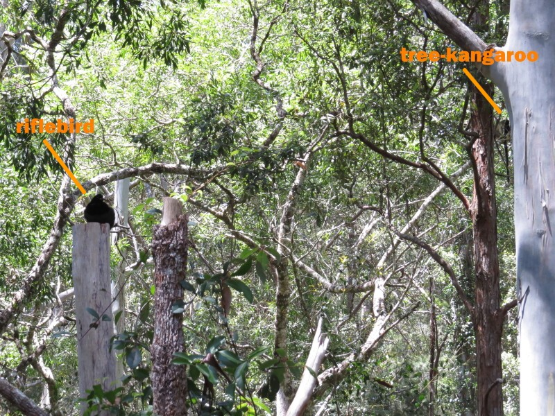 riflebird and tree-kangaroo