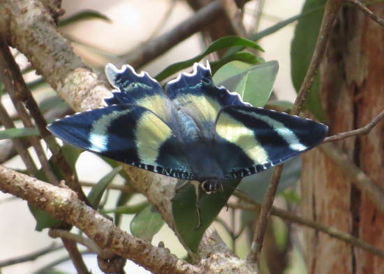 Queensland Day Moth, Alcides metaurus