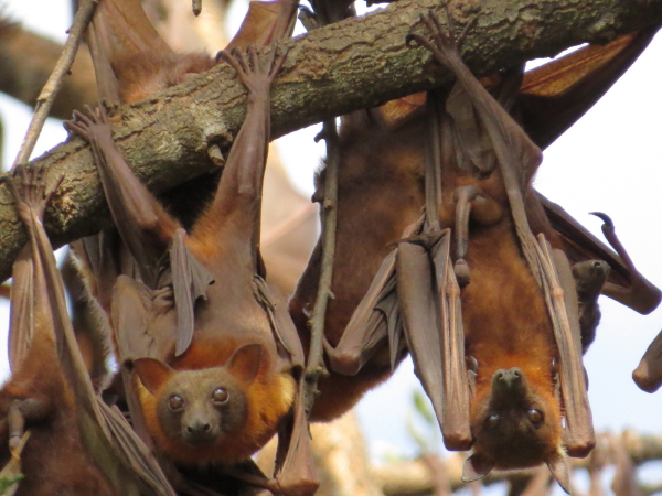 Little Red Flying-foxes