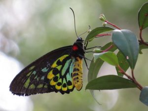 Cairns Birdwing