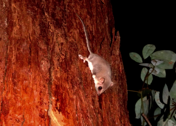 Broad-toed Feathertail Glider