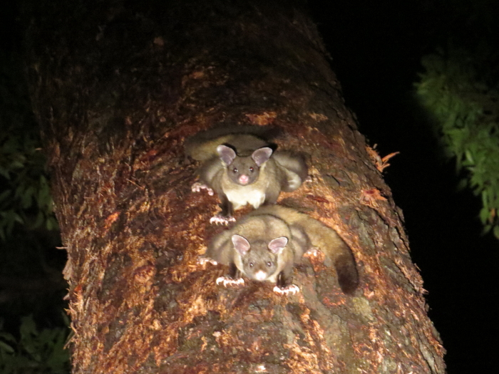 Yellow-bellied Gliders, Atherton Tablelands, Wondecla