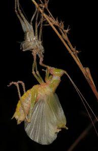 fresh katydid