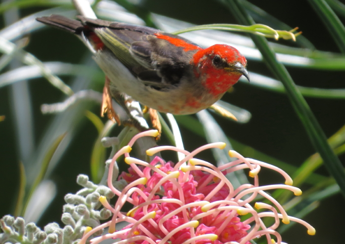 immature male Scarlet Honeyeater