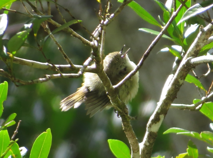 Mountain Thornbill, singing at Atherton Tablelands Birdwatchers' Cabin