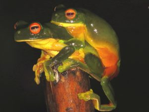 Orange-thighed Tree-frogs, Litoria xanthomera