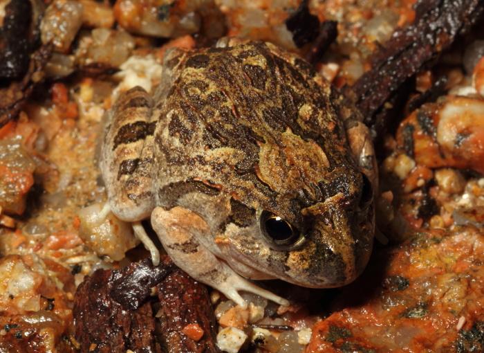 Ornate Burrowing Frog, Wondecla