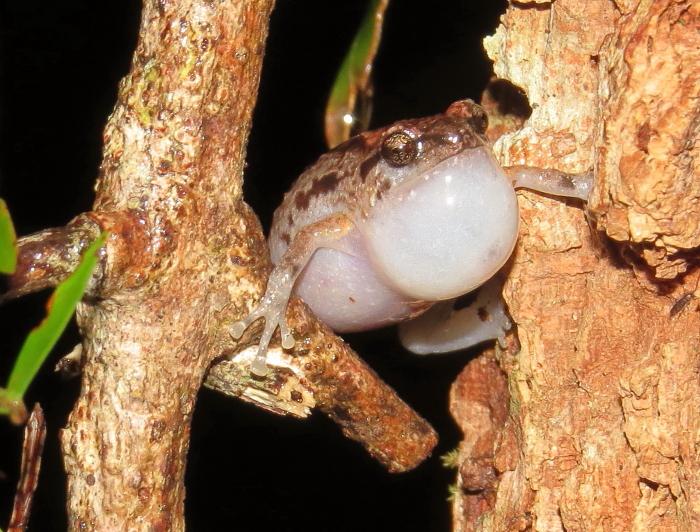 Southern Ornate Nursery Frog in Wondecla