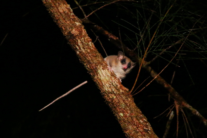 Long-tailed Pygmy-possum
