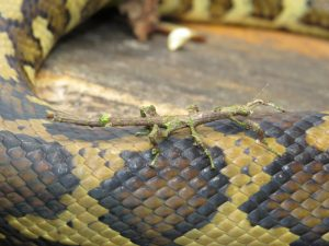 stick insect catching a ride on carpet python