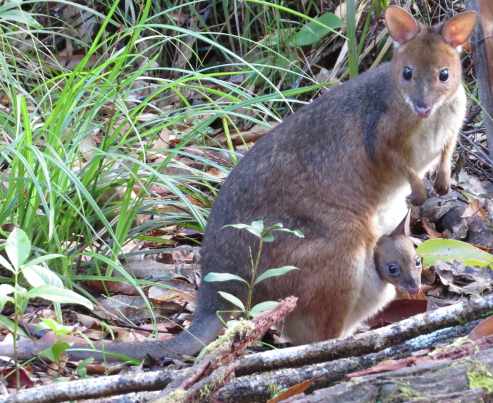 Red-legged Pademelon mum and joey