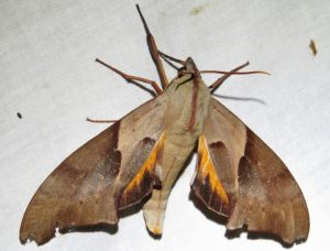 hawk moth Coequosa australasiae