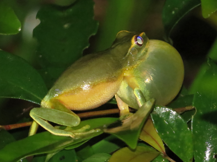 Dainty Green Treefrog, Litoria gracilenta