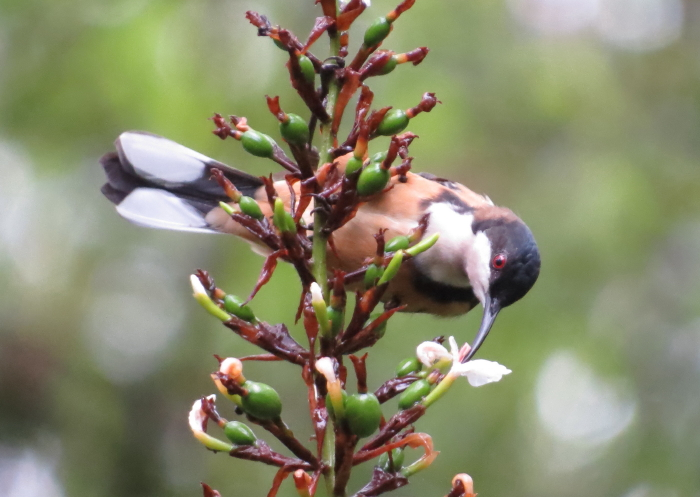 Eastern Spinebill in native ginger
