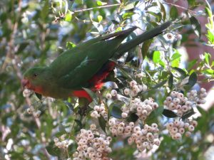 female King Parrot in Lilly-pilly