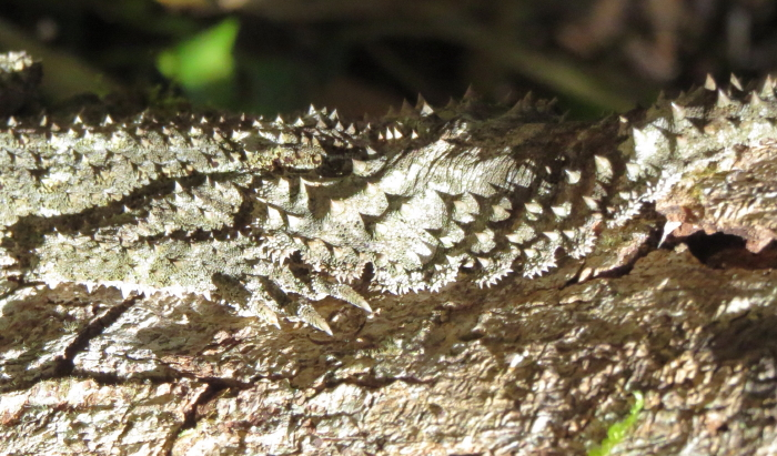 Leaf-tailed Gecko detail
