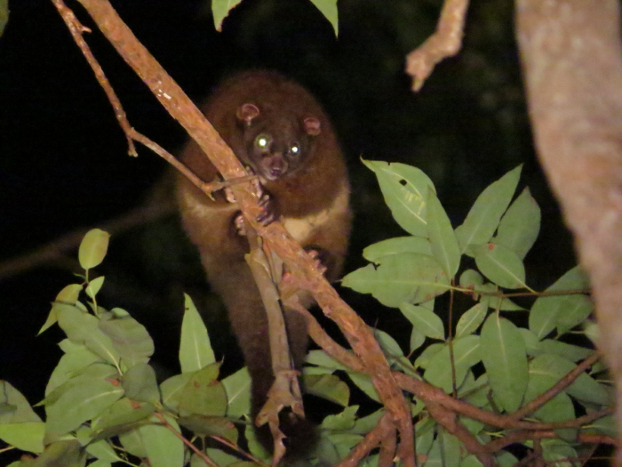 Lemuroid Ringtail Possum