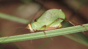 Ozphyllum Bush Katydid