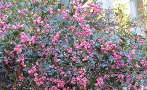 Syzygium smithii, Creek Satinash