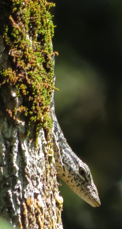 Spotted Tree-monitor, Varanus scalaris