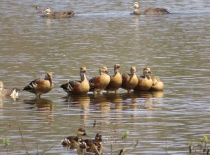ducks at Hasties Swamp near Atherton