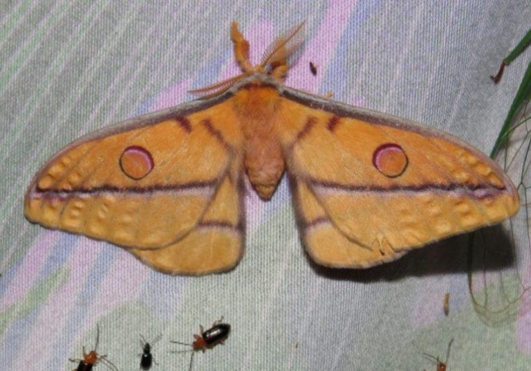 Emperor Moth, Opodiphthera fervida