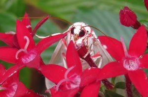 Tiger moth, Amerila