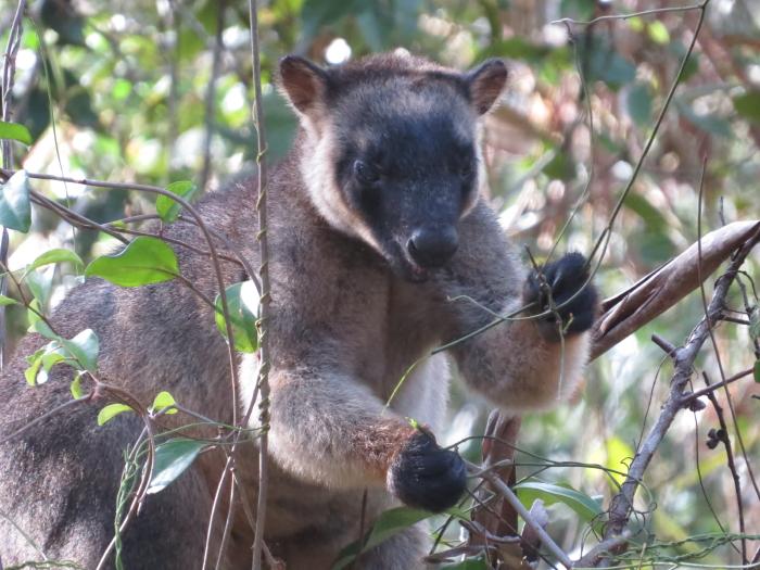 tree-kanagroo eating dodder laure;