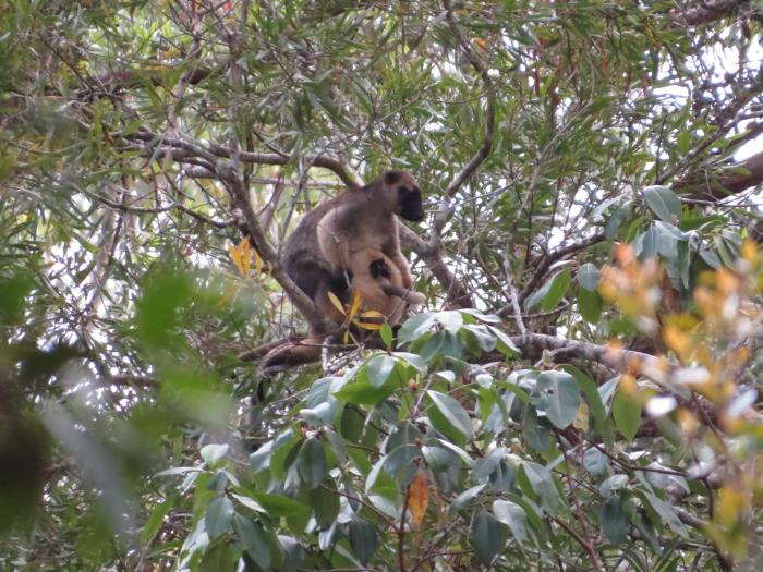 tree-kangaroo with huge pouch